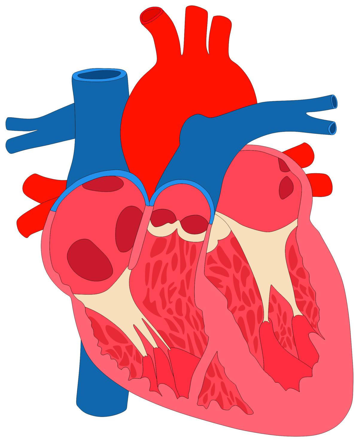 bigstock-Human-Heart-Muscle-Anatomy-cro-168919487-1200x1480.jpg