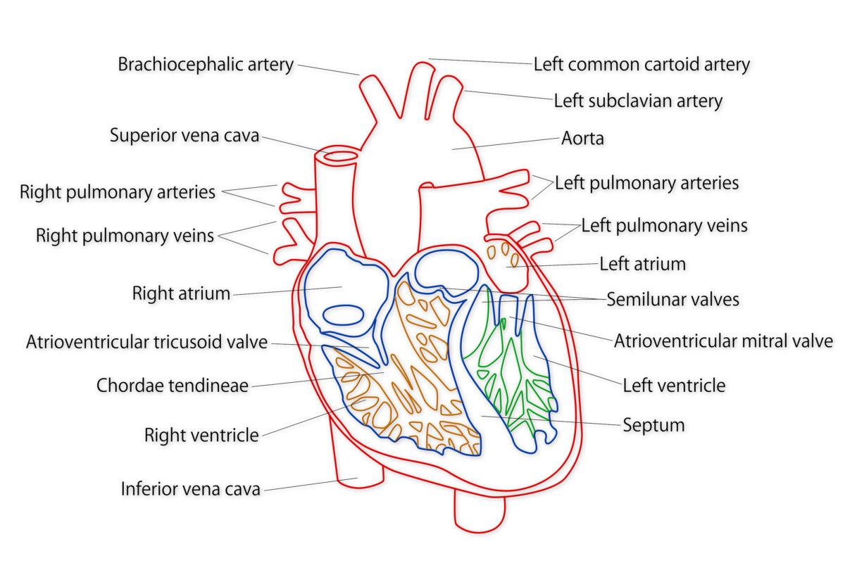 bigstock-Human-Heart-Structure-39422332-1200x800.jpg